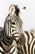 Portrait of zebra in natural light