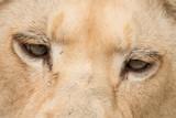 Beautiful close up portrait of white Barbary Atlas Lion Panthera Leo - 211402616