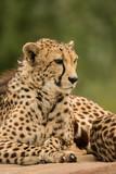 Beautiful close up portrait of Cheetah Acinonyx Jubatus in colorful landscape - 211402643