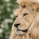 Beautiful close up portrait of white Barbary Atlas Lion Panthera Leo - 211402663