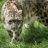 Stunning image of Snow Leopard Panthera Uncia walking through long grass - 211402665