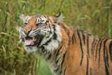 Beautiful portrait of tiger Panthera Tigris walking through long grass in vibrant landscape - 211402692
