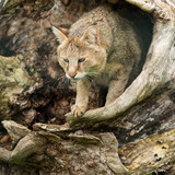 Stunning image of jungle cat Felis Chaus in hollowed out tree trunk - 211402693