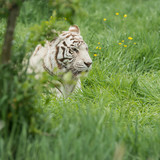 Beautiful portrait image of hybrid white tiger Panthera Tigris in vibrant landscape and foliage - 211402698