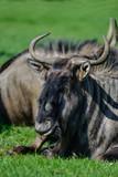 Portrait of Common Wildebeest Connochaetes Alcelaphine Bovidae laying in sun - 211402813