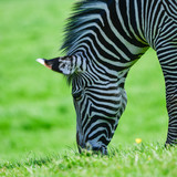Beautiful vibrant intimate close up portrait of Chapman's Zebra Equus Quagga Chapmani - 211402834