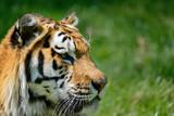 Portrait of Siberian Amur tiger Panthera Tigris Tigris in Summer - 211402836
