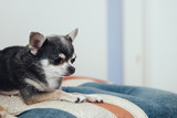 Chihuahua is resting on the sofa