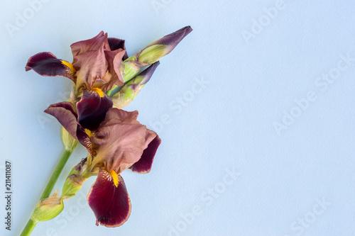 Fotobehang Iris Iris flower on a blue background