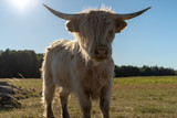 White highland cattle calf quirious about the photographer in Järfälla Stockholm Sweden during summer
