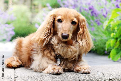 English cream Longhair dachshund outside in summer with lavender flowers in the background.  - 211417837