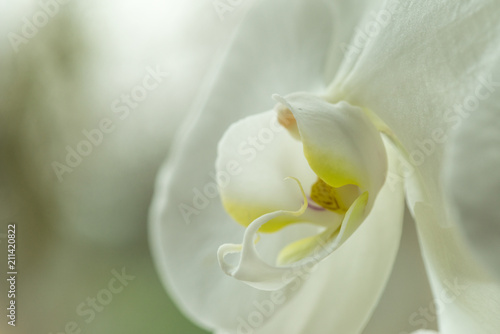head of a white orchid flower close up