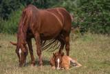 Fohlen grast neben seiner Mutter im Liegen - 211423059