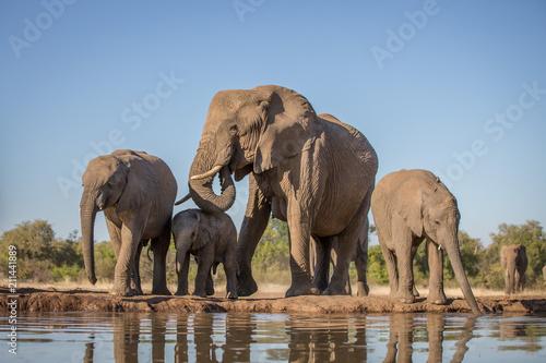 Fototapeta elephant herd at the water hole