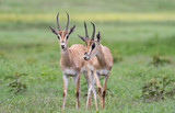 impala herd, Africa - 211445474