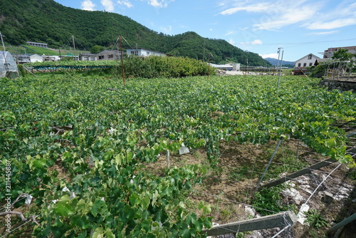 Fotobehang Olijf Yamanashi,Japan-June 30, 2018: Grapes hanging from Grape Trellis early in the summer