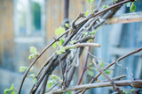 Branches of grape in the vineyard. Selective focus. Shallow depth of field.