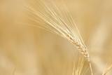 Gerste und Getreideähren - 211469216