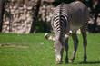 Zebra in the pasture in the park