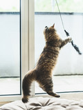 Siberian kitten game.  Fluffy Kitten catches a toy in a jump at window in cozy room - 211480438