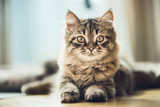 Portrait of a fluffy Siberian kitten with a beautiful fur coat on the floor at window, looking at camera - 211480476