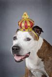 chien de race american Staffordshire terrier avec couronne de roi - 211484857