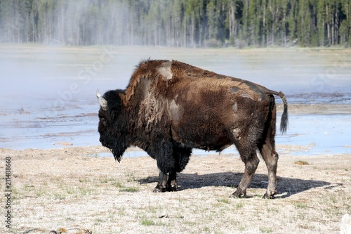 Fotobehang Bison Bison nearby of hot Springs – Yellowstone NP – USA
