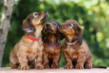 three adorable dachshund puppies together