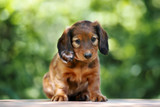 red dachshund puppy sitting outdoors in summer
