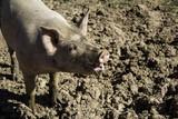 Vietnamese farm pig - 211503648