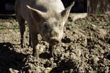 Vietnamese farm pig - 211504293