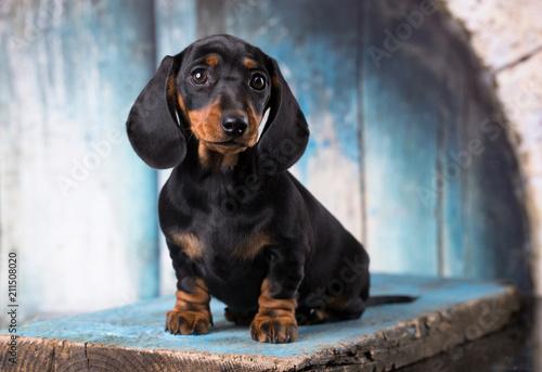 purebred dachshund puppy - 211508020