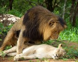 mating lions africa