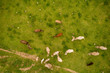 Aerial view of mountain cows