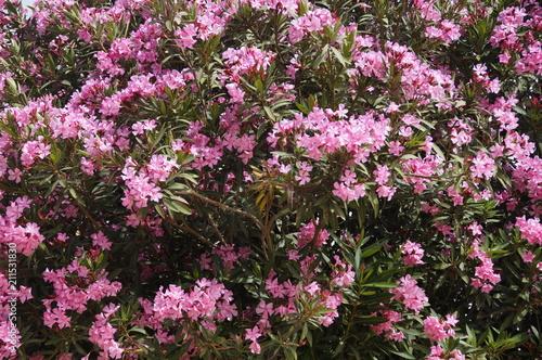 Fotobehang Azalea blooming rhododendron in spring in Israel