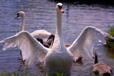 Swan family enjoying at nice sunny summer day - 211532836