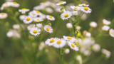 Daisies in the meadow, the flower grows in the garden. Chamomile in natural environment. Flowers in the garden
