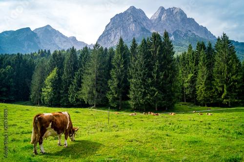 Fototapeta Grasende Kuh in den Bergen