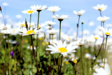 the field is big with daisies