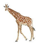 a watercolor illustration of a giraffe, a realistic drawing by the hands of an African animal at the zoo