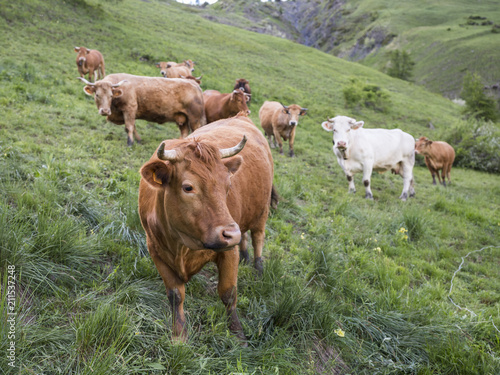 Aluminium Olijf brown cows in mountain meadow near col de vars in french alps of haute provence