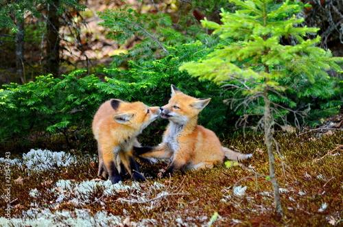 Fototapeta Red fox kits together near their den