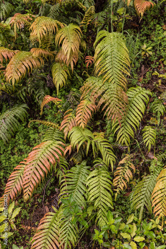 Fronds of New Zealand Cape Fern hanging down from the bank on which they are growing.
