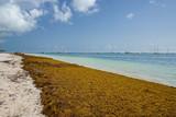 Punta Cana, Dominican Republic - June 17, 2018: : sargassum seaweeds on ocean beach in Bavaro, Punta Cana. Due to global warming, the altered ocean current bring sargasso to Dominican Republic coast. - 211566014