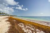 Punta Cana, Dominican Republic - June 17, 2018: : sargassum seaweeds on ocean beach in Bavaro, Punta Cana. Due to global warming, the altered ocean current bring sargasso to Dominican Republic coast. - 211566083