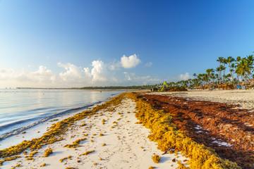 Punta Cana, Dominican Republic - June 17, 2018: : sargassum seaweeds on ocean beach in Bavaro, Punta Cana. Due to global warming, the altered ocean current bring sargasso to Dominican Republic coast.