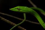 Green Vine Snake - 211567043