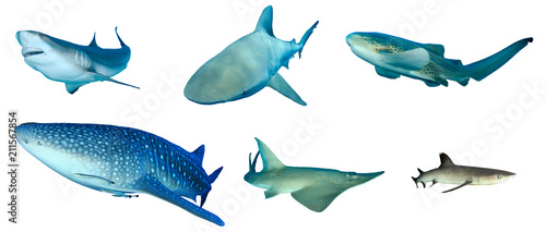Fototapeta Shark species collection isolated. Caribbean Reef, Bull, Leopard, Whale, Giant Guitarfish and Whitetip Reef Sharks