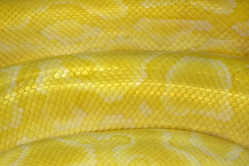 Colorful patterns and skin of Gold Reticulated Python or Boa.