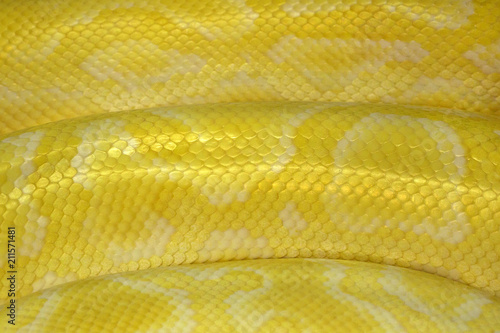 Plakat Colorful patterns and skin of Gold Reticulated Python or Boa.